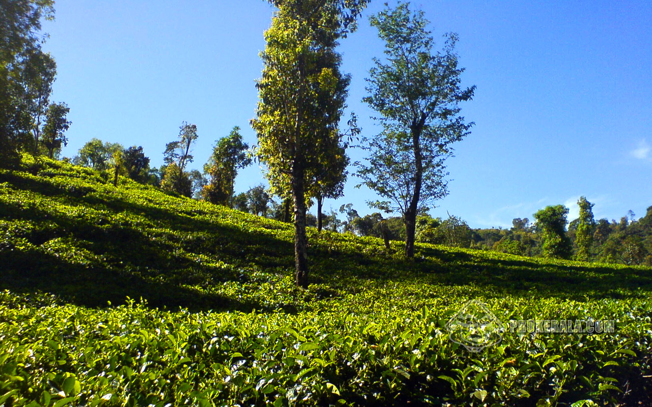 Kerala photo tea plantation download kerala photos kerala pictures