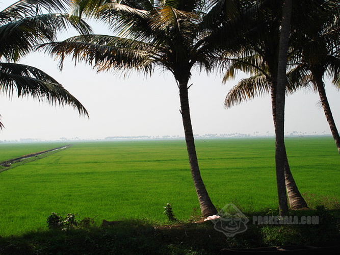 Kerala's Paddy Fields and Coconut Trees