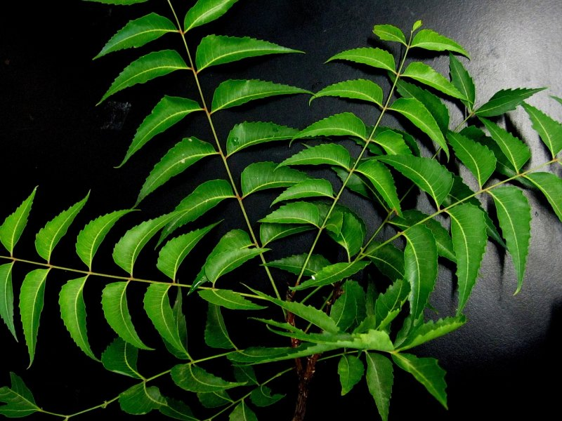neem leaves plant extract