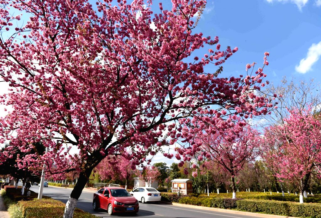 Photo taken Jan. 6, 2015 shows the scenery of winter cherry blossom on a road in Kunming, capital of southwest China's Yunnan Province. (Xinhua/Lin ...