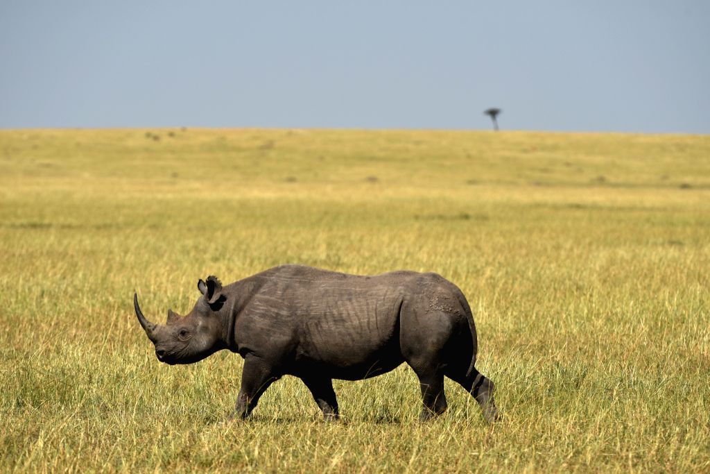 A black rhino walks at the Masai Mara National Reserve of Kenya, on Aug. 16. 2015.