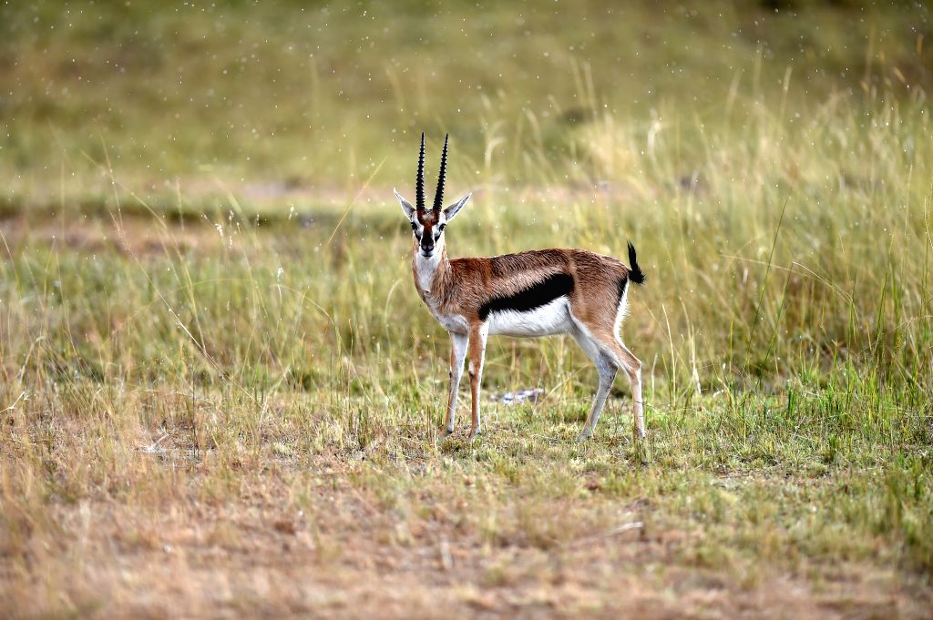 A gazelle stands in rain at the Masai Mara National Reserve of Kenya, on Aug. 15, 2015.