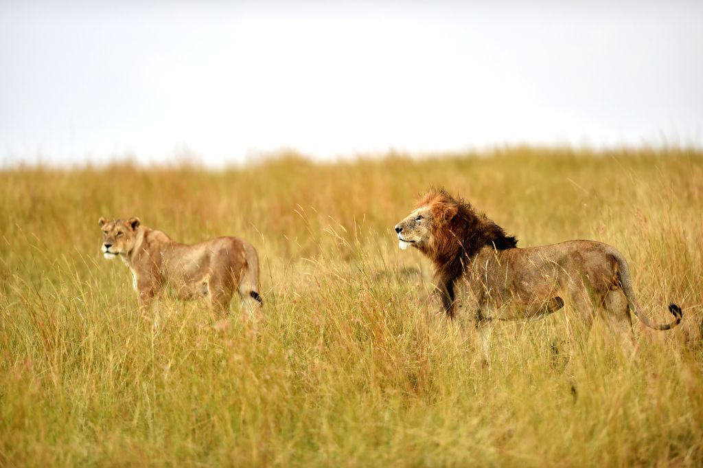 A male lion and a female lion walk at the Masai Mara National Reserve of Kenya, on Aug. 15, 2015.