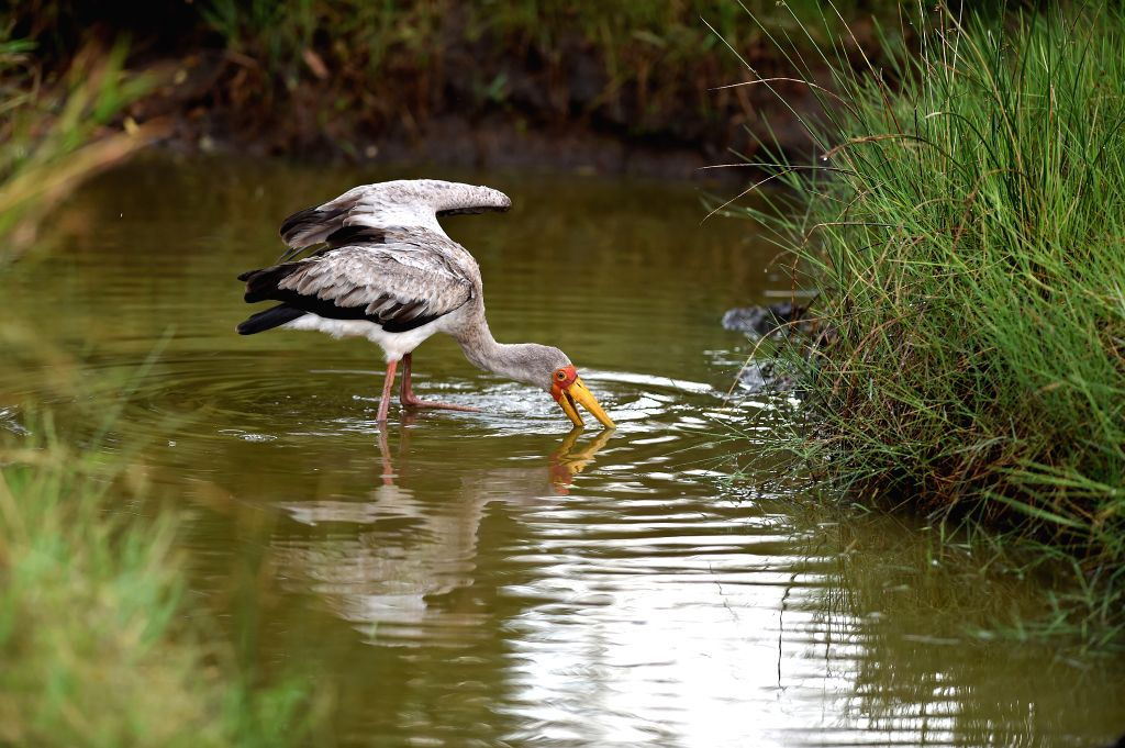 A yellow billed stork forages for food at a pond in the Masai Mara National Reserve of Kenya, on Aug. 15, 2015.