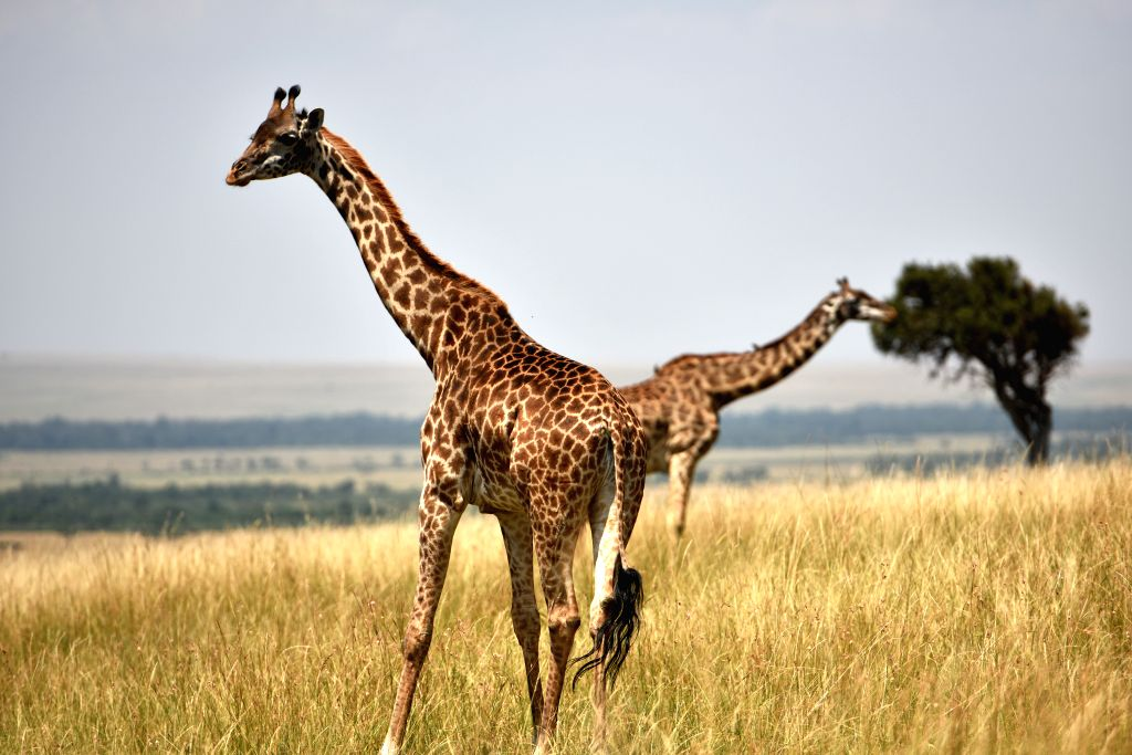 Photo taken on Aug. 15, 2015 shows two giraffes at the Masai Mara National Reserve of Kenya.
