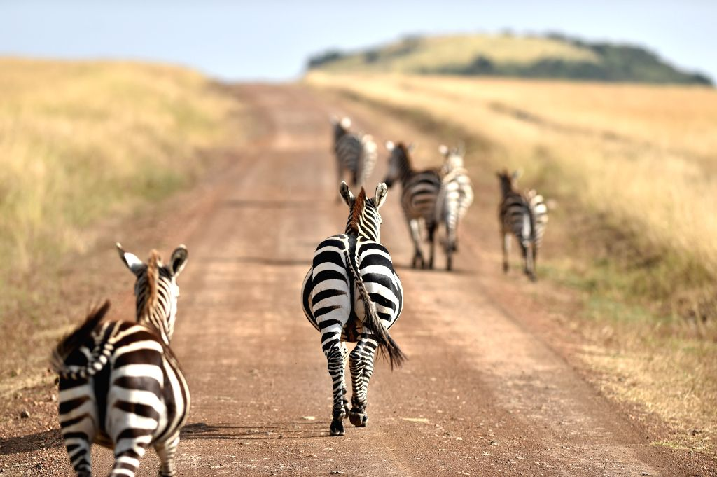 Several zebras walk on a road at the Masai Mara National Reserve of Kenya, on Aug. 15, 2015.