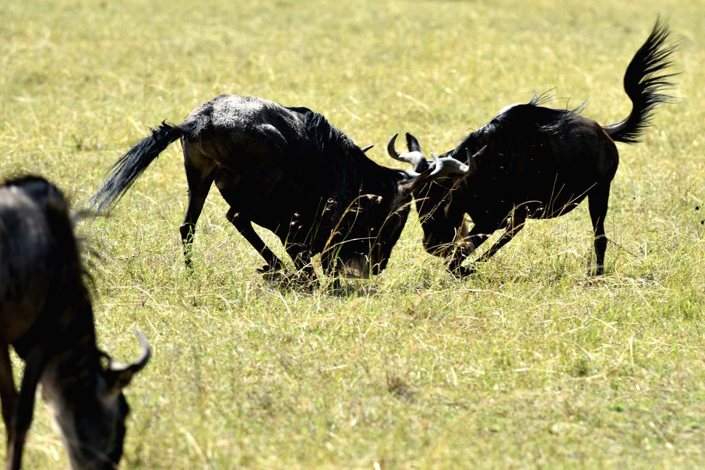 Two wildebeests fight against each other at the Masai Mara National Reserve of Kenya, on Aug. 16, 2015.