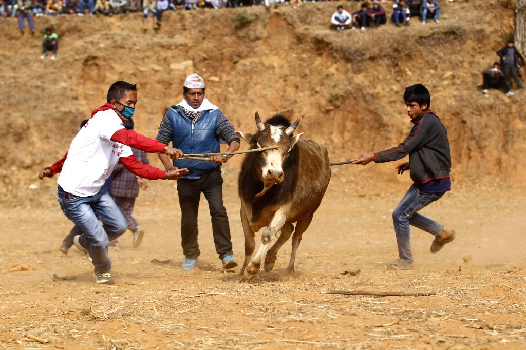 People control a bull during the Maghesakranti festival celebration at Tallukachandani village in Nuwakot district near Kathmandu, Nepal, Jan. 15, 2016. ...