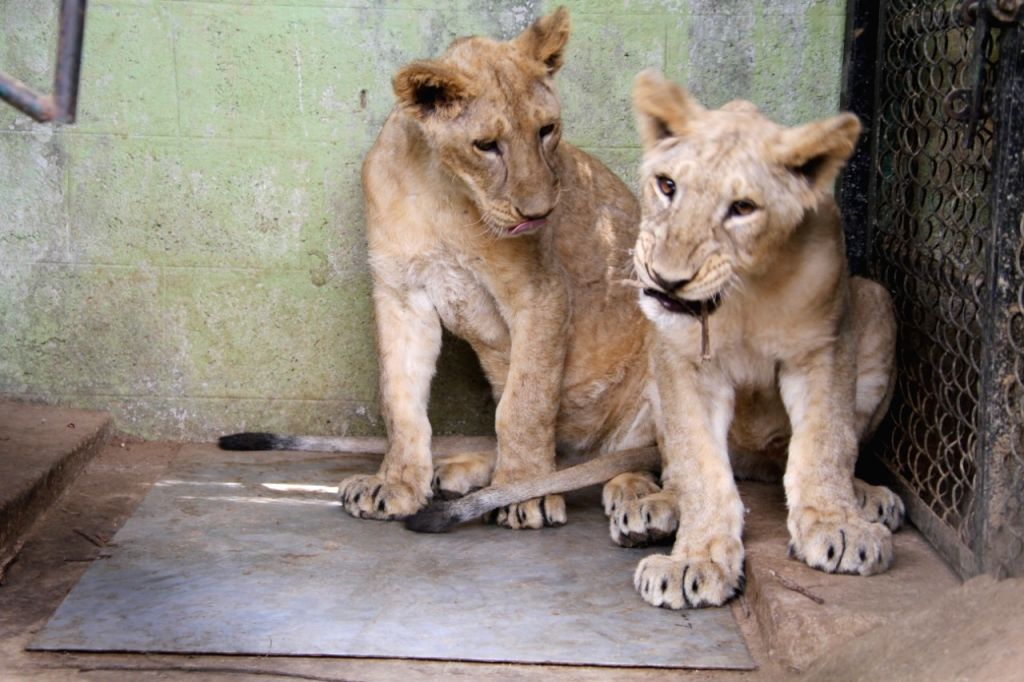 2 tiger and 2 lion cubs born in Bengaluru zoo
