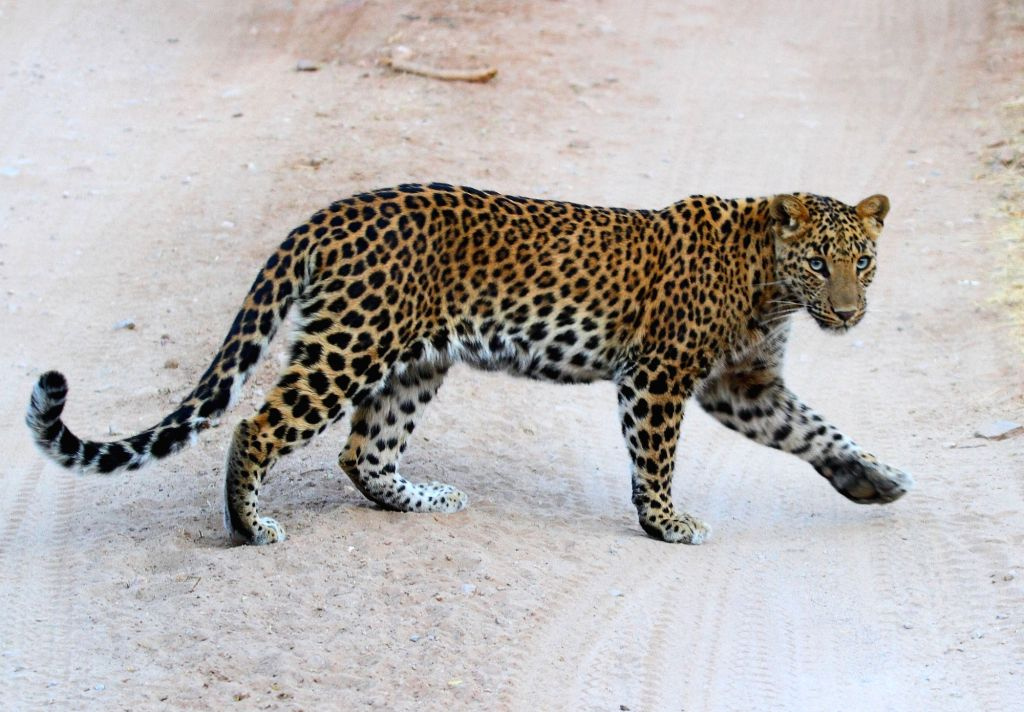 5Panthers searching for new territories in desert.