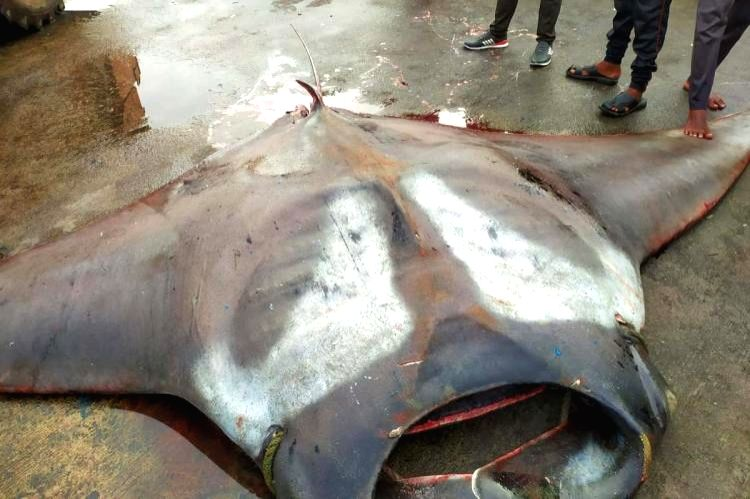 750kg Stingray catch video clip in Malpe goes viral  in K'taka