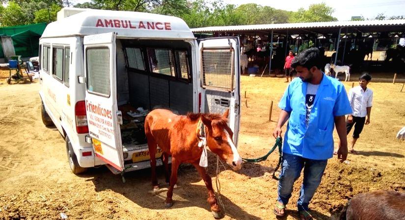A abandoned mule rescued by the Friendicoes & Wildlie SOS team from Ghazipur.