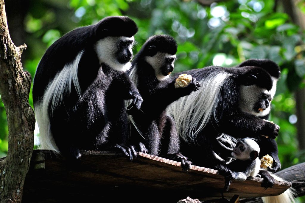 A baby eastern black & white colobus monkey (R, bottom) stays close to its mother at the Singapore Zoo on Jan. 12, 2016. The animals under the care of the ...