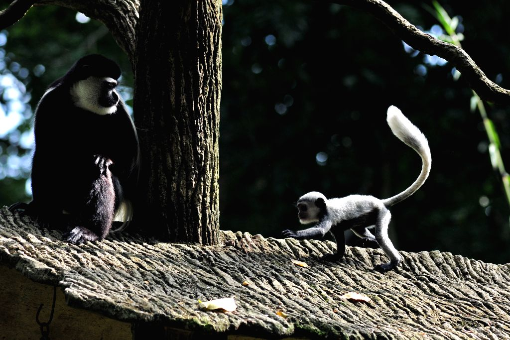 A baby eastern black & white colobus monkey (R) stays close to its mother at the Singapore Zoo on Jan. 12, 2016. The animals under the care of the Wildlife ...