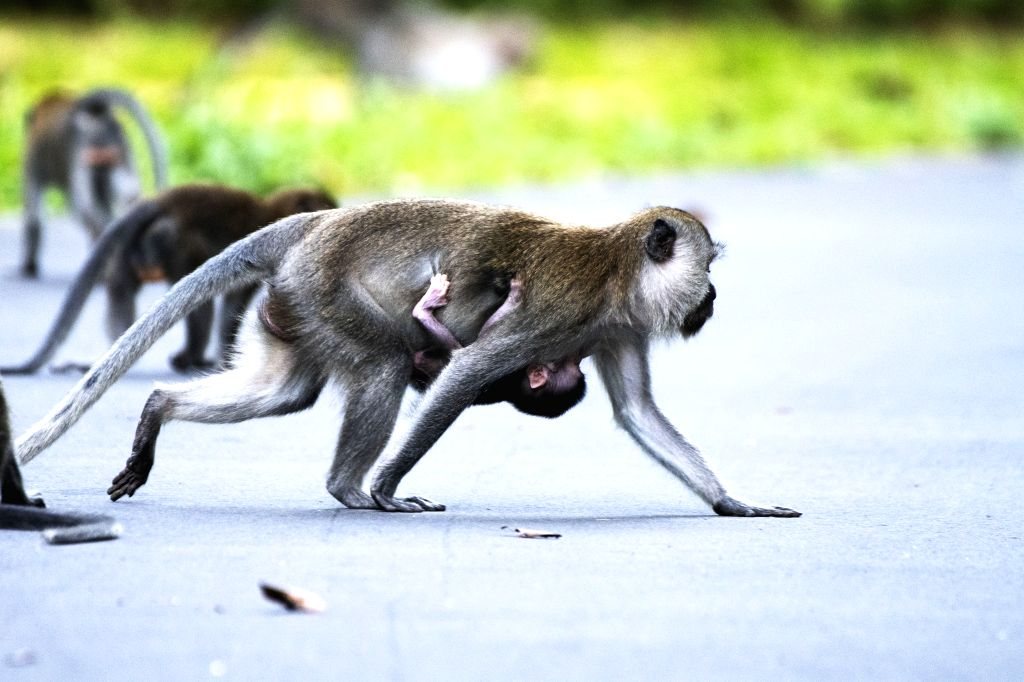 A baby long-tailed macaque hangs onto its mother in Singapore's Central Catchment Nature Reserve on July 3, 2020.