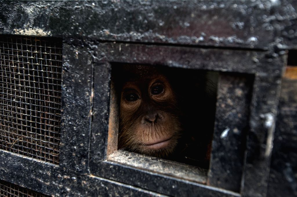 A baby orangutan looks out from its travel cage as it arrives at the Sumatran Orangutan Conservation Programme quarantine in Deliserdang, North Sumatra, ...