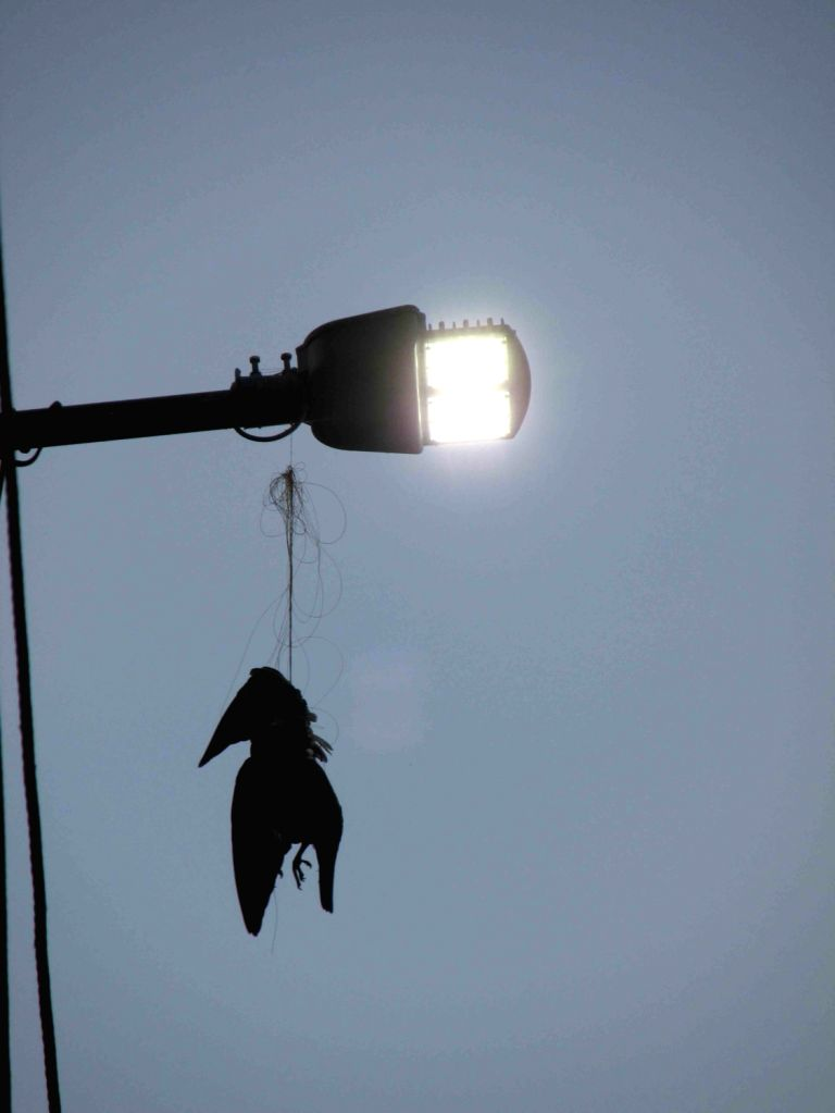A bird's carcass hangs from a street light after getting trapped in nylon kite string, in Hyderabad on Feb 12, 2018.