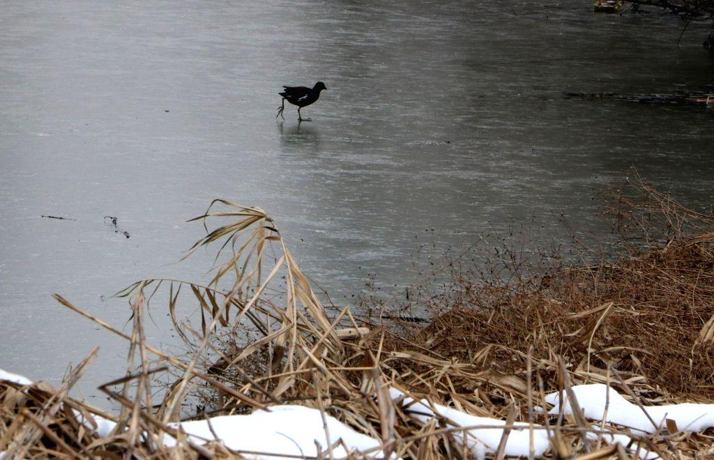 A bird walks on frozen Dal Lake in Srinagar on Jan 13, 2017.