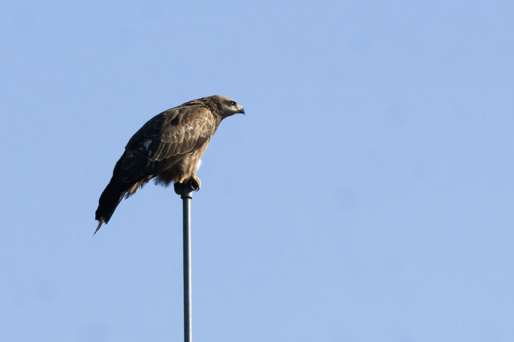 A Black kite perched on a pipe in Palampur on March 6, 2019.