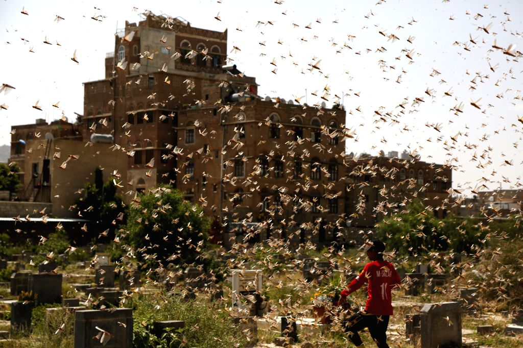A boy walks through a swarm of desert locusts in Sanaa, Yemen, July 12, 2020. The United Nations Food and Agriculture Organization (FAO) has said that the desert ...