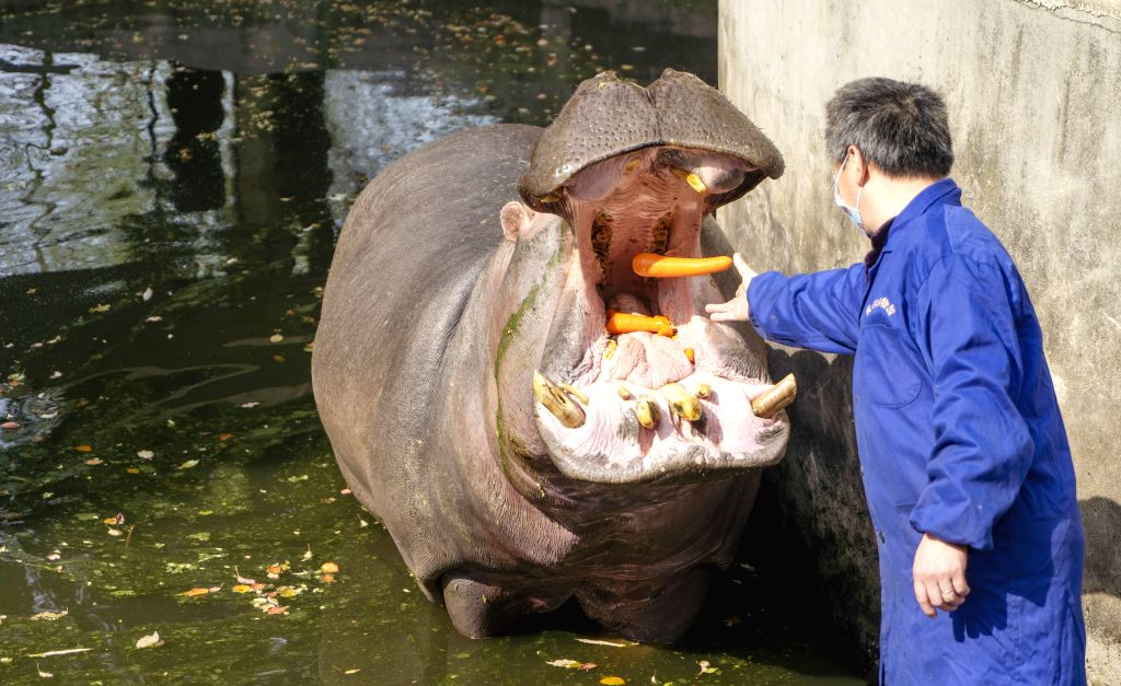 A breeder feeds a hippo at Wuhan Zoo in Wuhan, central China's Hubei Province, March 13, 2020. Wuhan Zoo was closed on Jan. 22 after the novel coronavirus outbreak. ...