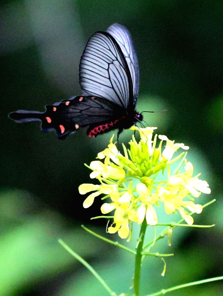 A butterfly eats nectar from a flower on Taebaek Mountain in Gangwon Province on May 27, 2017.