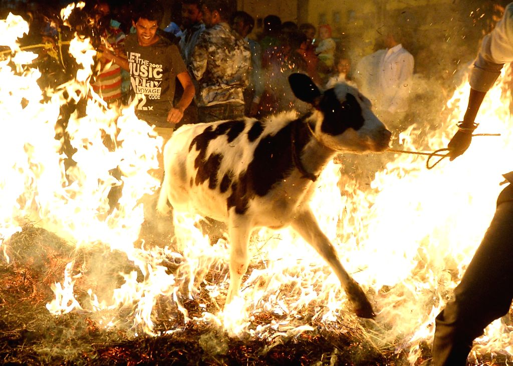 A calf jumps over fire  on Makar Sankranti in Bengaluru on Jan 14, 2017.