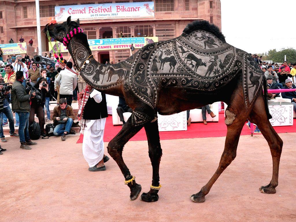 A camel during International Camel Festival in Bikaner on Jan 14, 2017.