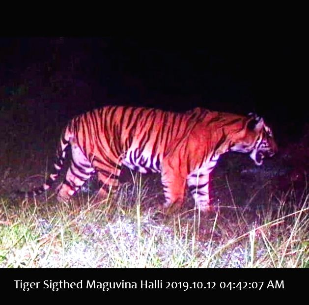 A camera trap picture of the killer tiger in Karnataka's Bandipur Tiger Reserve on Oct 12, 2019. Picture shared with IANS by a wildlife official.
