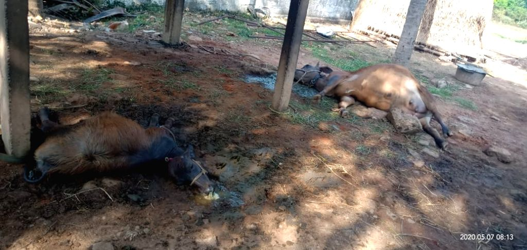 A cattle carcasses lying at a field after the leakage of Styrene gas at LG Polymers India plant in RR Venkatapuram near Gopalpatnam in Andhra Pradesh's Visakhapatnam that left one ...