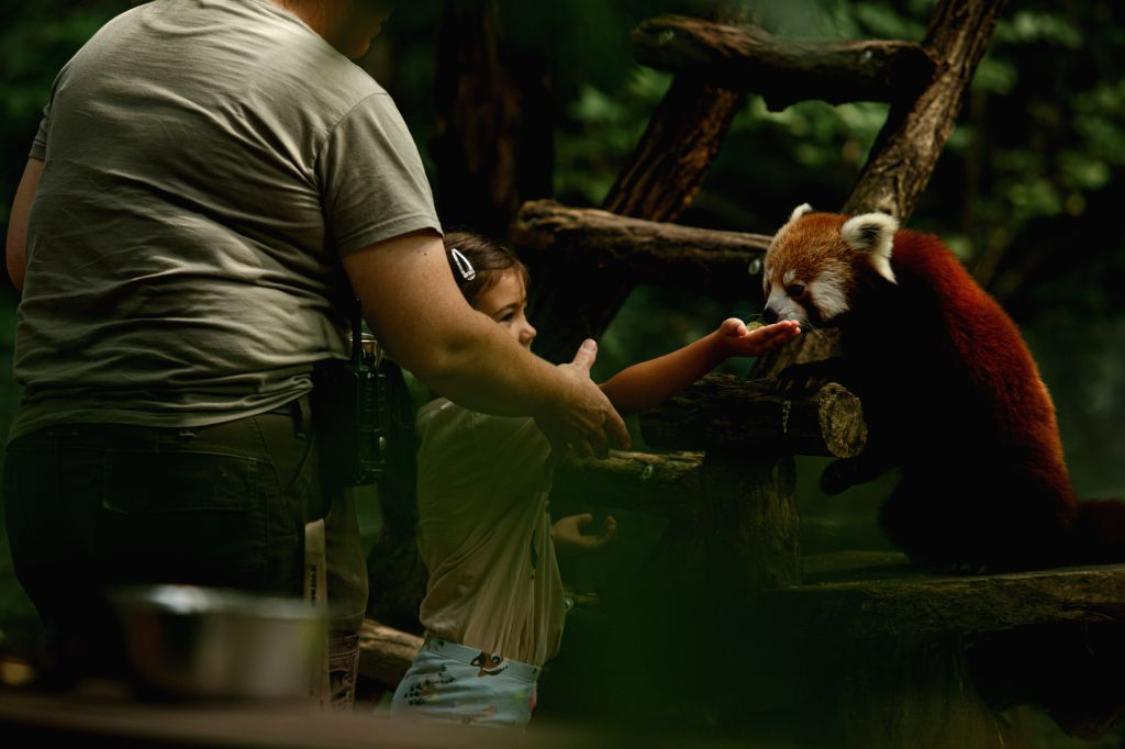 A child feeds a red panda in Ljubljana Zoo in Ljubljana, Slovenia, Aug. 11, 2020. Tourists gradually return to Ljubljana Zoo, which was closed for a while due to ...