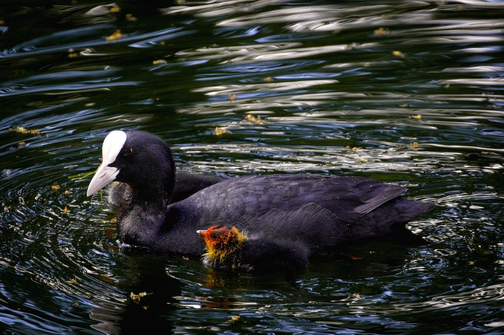 A coot and its young duckling are seen in the pond in the Royal Baths park in Warsaw, Poland on June 23, 2020 . Initiatives were taken to warn cyclists and ...