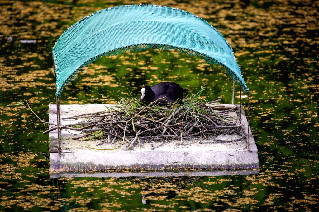 A coot is seen in a nest it has built on a man-made island in Warsaw, Poland,  on June 23, 2020 . Initiatives were taken to warn cyclists and pedestrians to avoid ...