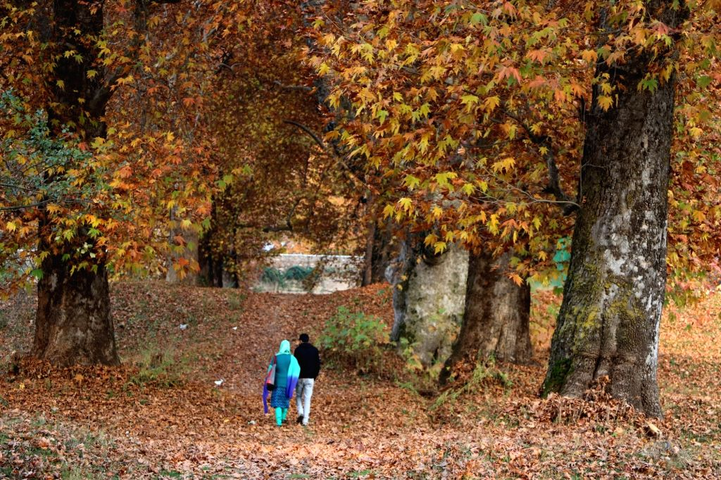 A couple walks on the fallen leaves of the Chinar tree at the Nishat Bagh in Srinagar on Nov 15, 2015.