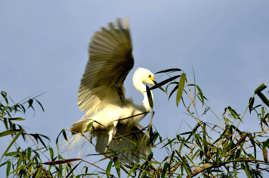 A crane builds its nest on a bamboo grove on the banks of river Manu in Chanripur of Tripura's Unnakoti district. Once found in large numbers in Tripura their population has been rapidly dwindling ...