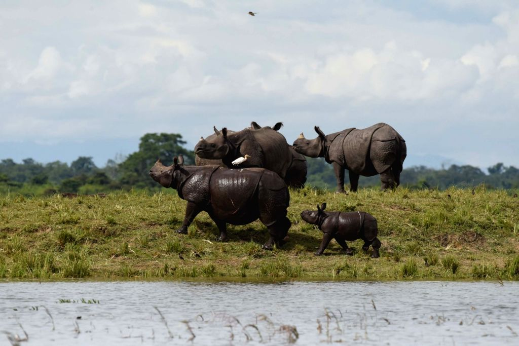A crash of rhinoceroses move to higher lands from the flood hit areas of Assam's Kaziranga National Park on July 6, 2017. The flood situation in Assam remained unchanged on Thursday with ...