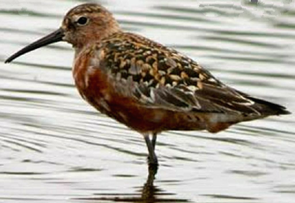 A Curlew Sandpiper migratory bird, tagged in Mumbai, spotted 4500-kms away in Tangy Saltpans of Tianjin Province, eastern China.