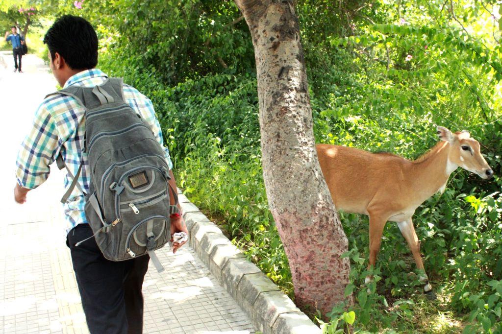 A deer at Jawaharlal Nehru University campus in New Delhi, on Sept 9, 2016.