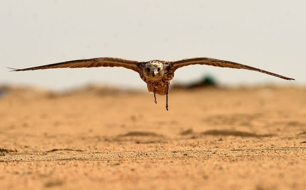 A falcon flies during a hunting show in Jahra Governorate, Kuwait, Jan. 4, 2020. Kuwaiti falcon lovers held on Saturday a falcon hunting show in the desert ...