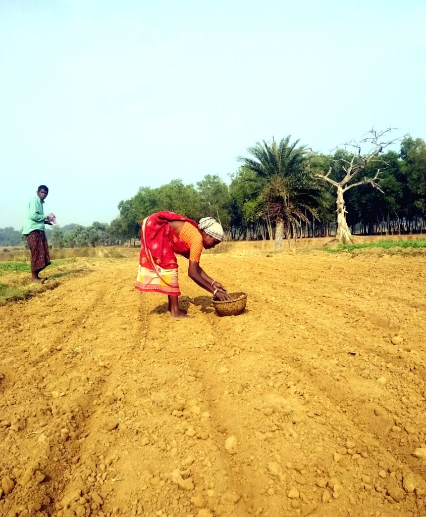 A farm worker busy sowing potato seeds in Shantiniketan.