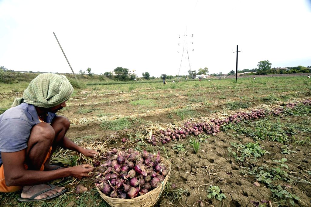 A farmer busy harvesting onion crop at an agricultural field in Patna during the extended nationwide lockdown imposed to mitigate the spread of coronavirus; on Apr 22, 2020.