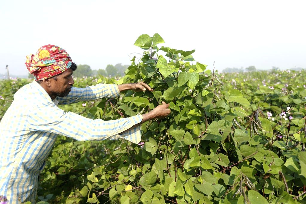 A farmer busy working at a french bean field in Bangladesh's Manikganj, on Jan 11, 2019.