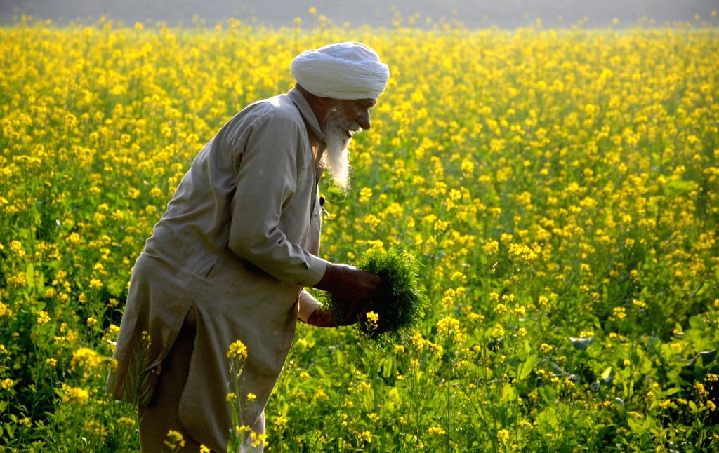 A farmer busy working at a mustard field on the outskirts of Amritsar, on Dec 7, 2019.