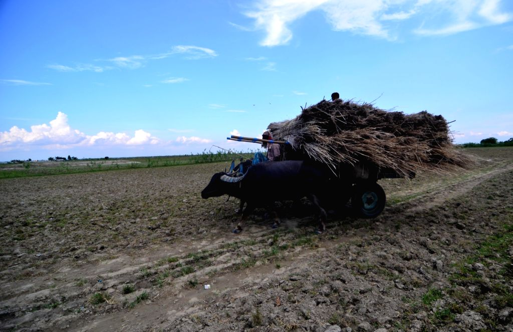 A farmer carries dry jute sticks on his buffalo cart at Palashbari, Assam on Sept 25, 2016.