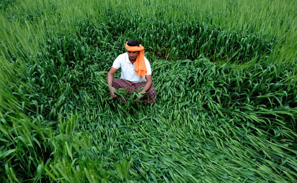 A farmer looks at wheat crops damaged due to heavy rains in Amritsar on March 9, 2017.