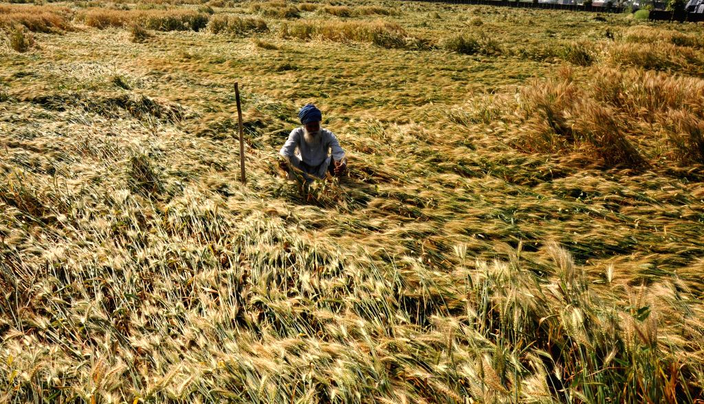 A farmer looks at wheat crops destroyed due to heavy rains in Amritsar on April 19, 2014.