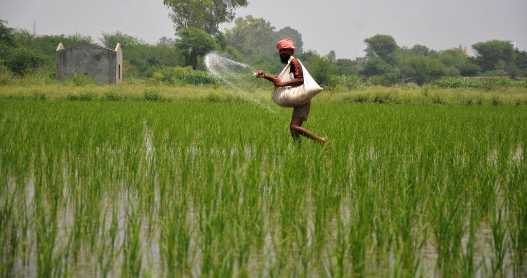 A farmer sprays fertilizer in his fields on the outskirts of Amritsar on July 21, 2014.