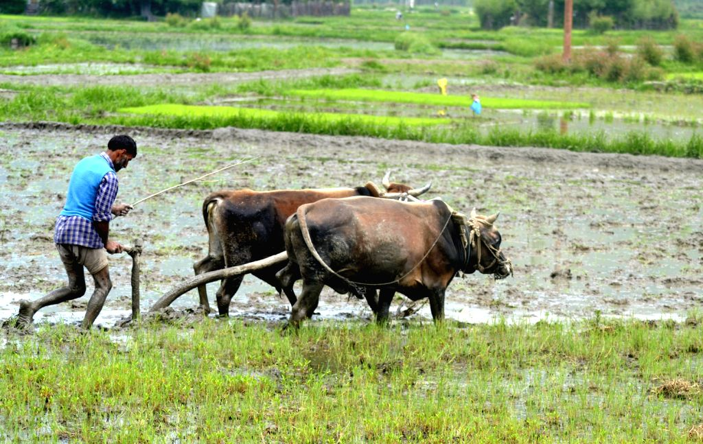 A farmer tills his fields in Baramulla district of Jammu and Kashmir on May 9, 2016.