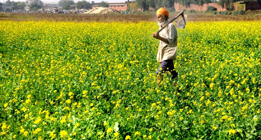 A farmer walks in a mustard field on the outskirts of Amritsar on Nov 21, 2015.
