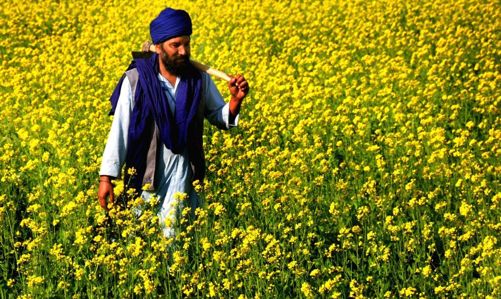 A farmer walks in a mustard field on the outskirts of Amritsar on Nov 26, 2016.
